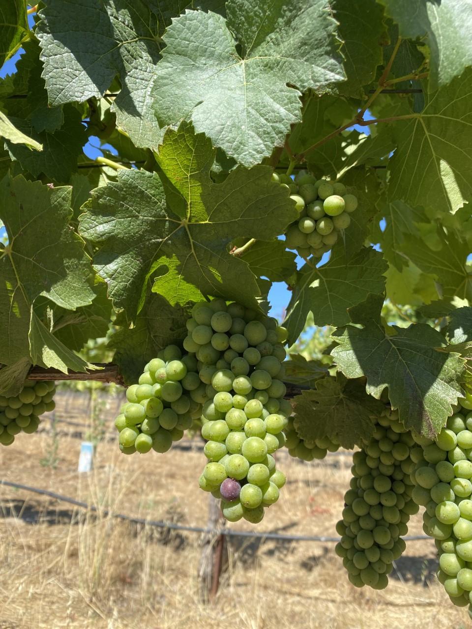 Veraison spotted at Hyde Estate in Carneros in South Napa Valley