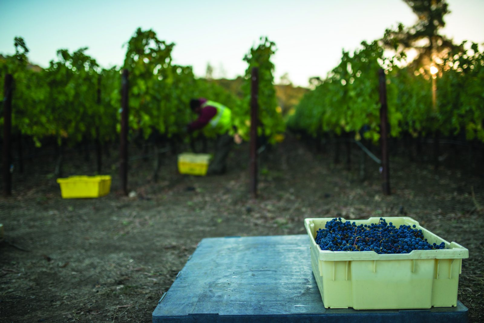 Bin of grapes with farmworker harvesting in background vineyards