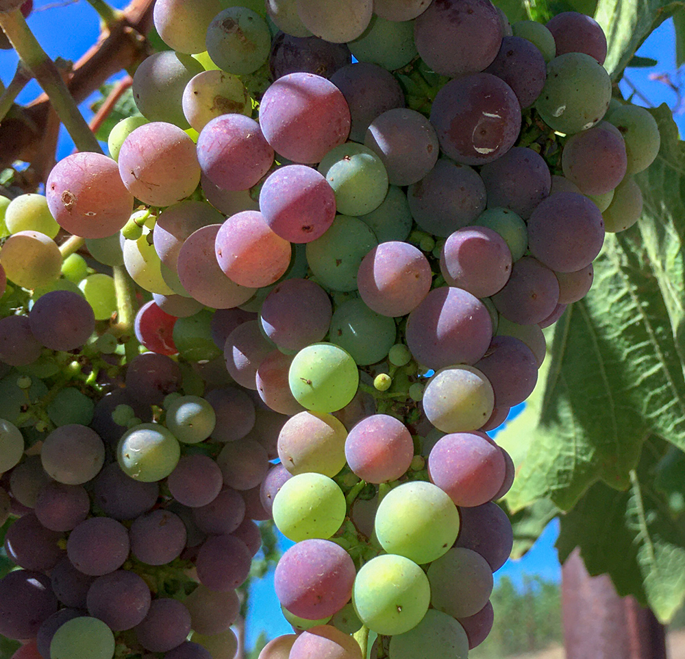 Veraison is upon Napa Valley!