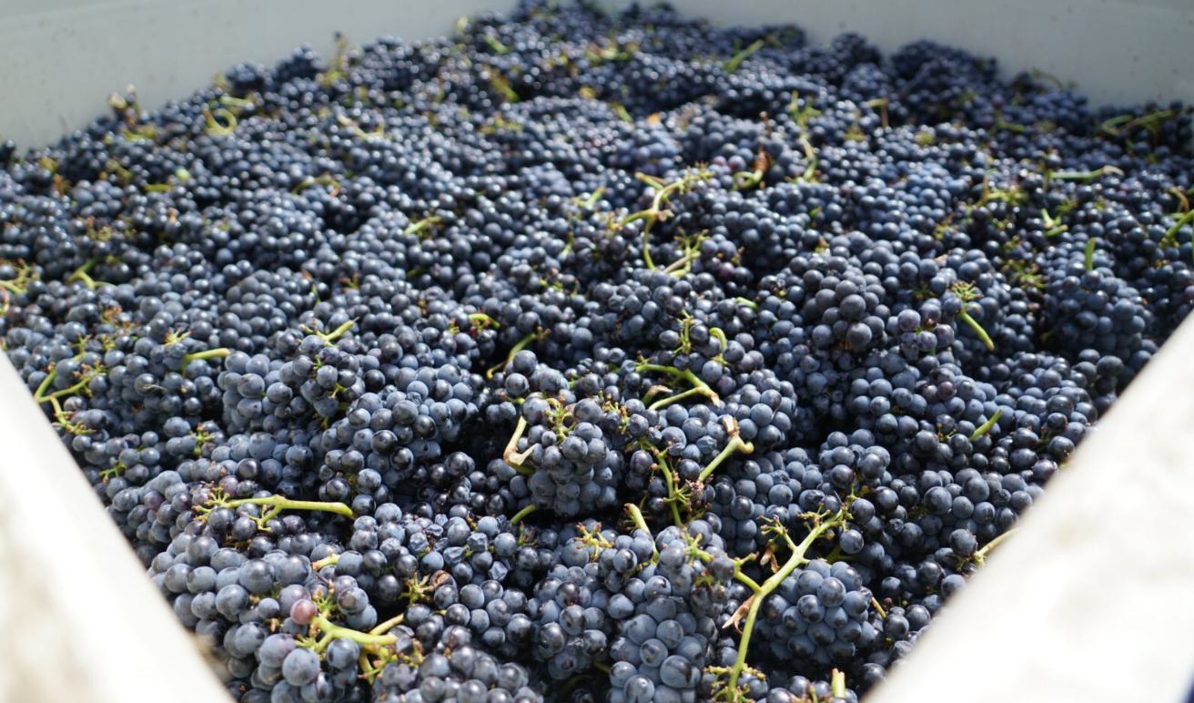Napa Valley Harvest Begins