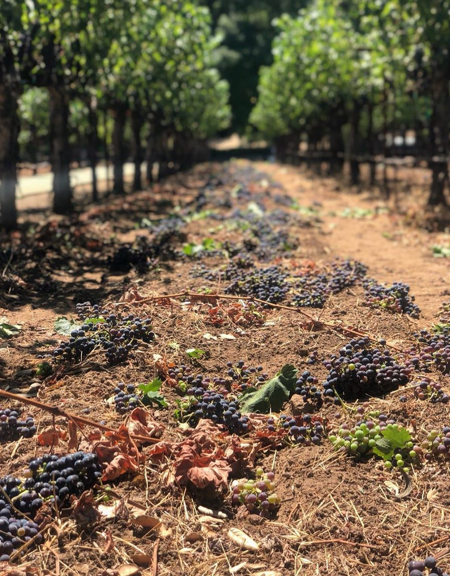 Thinning: an important annual process leading into harvest in Napa Valley