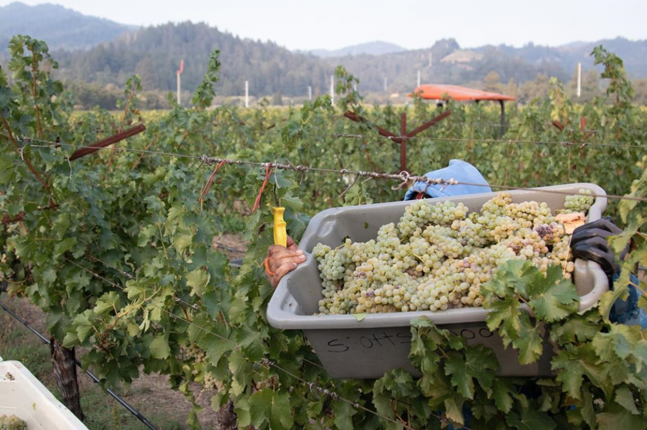Harvest is moving forward in Napa Valley.