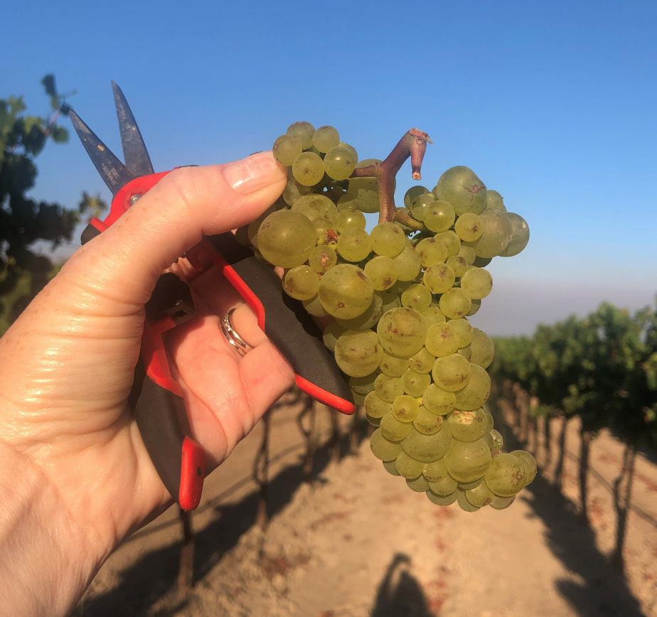 Harvest update from Bouchaine Vineyards in Carneros, Napa Valley