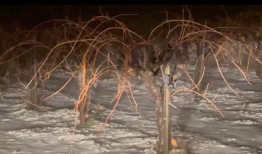 Does snow hurt grapevines?