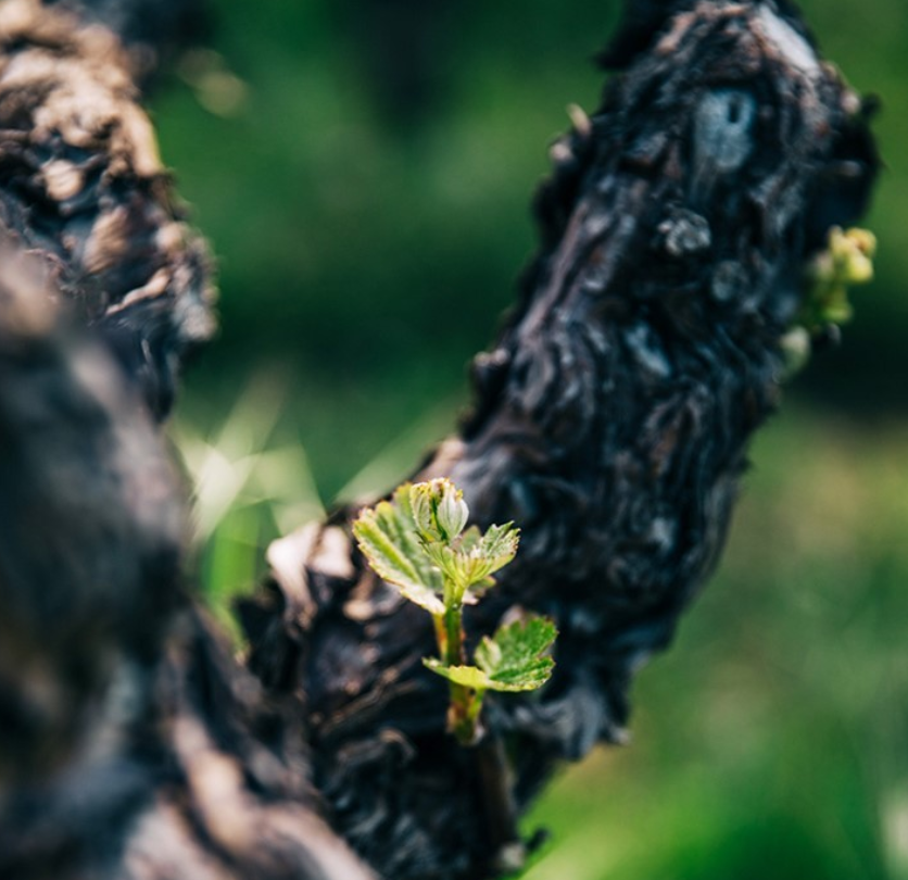 Budbreak on Spring Mountain at Stony Hill Vineyard