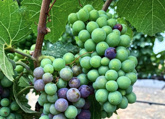 Veraison has started to appear in places in Napa Valley!