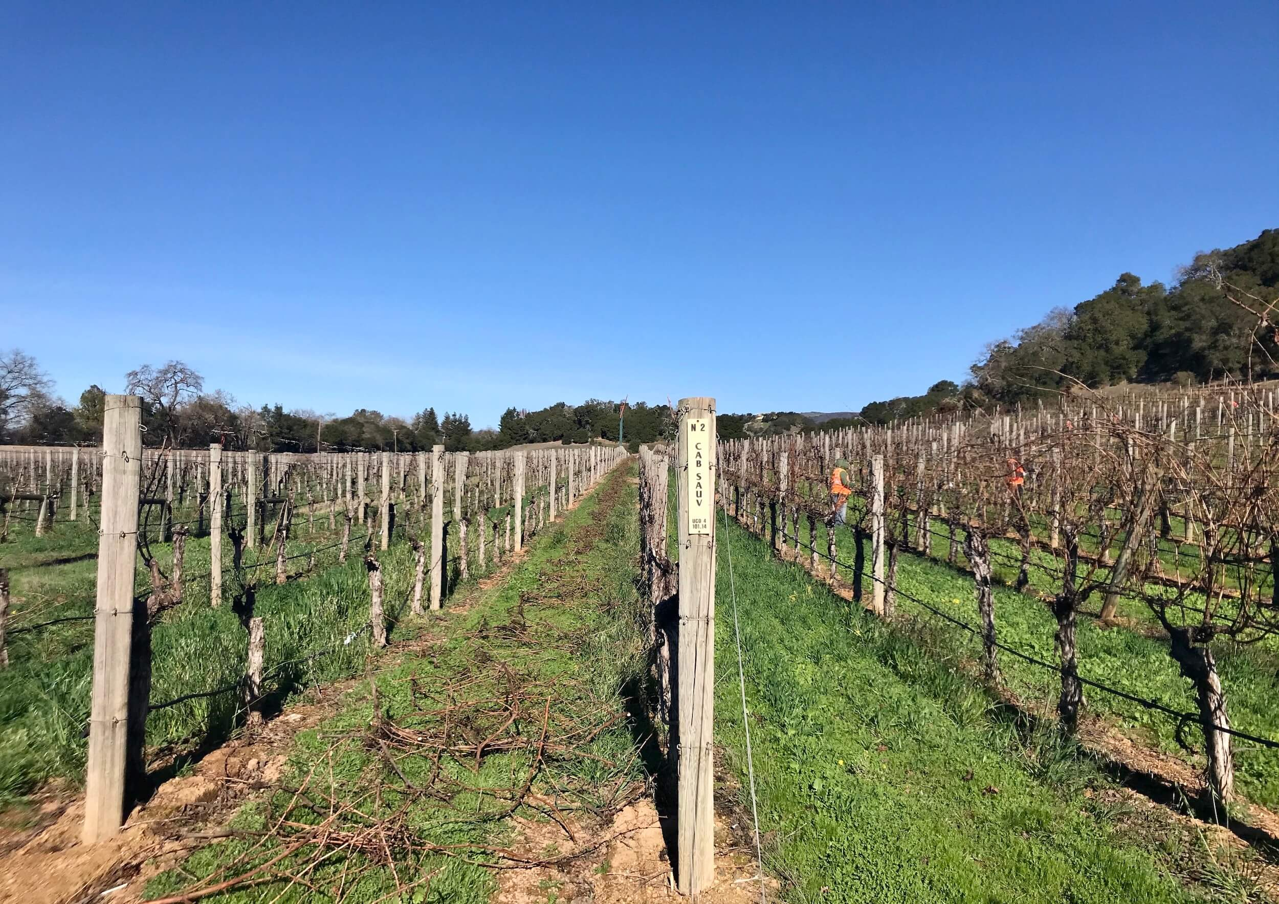 Vintage 2021 starts! Before and after pruning at Silverado Vineyards