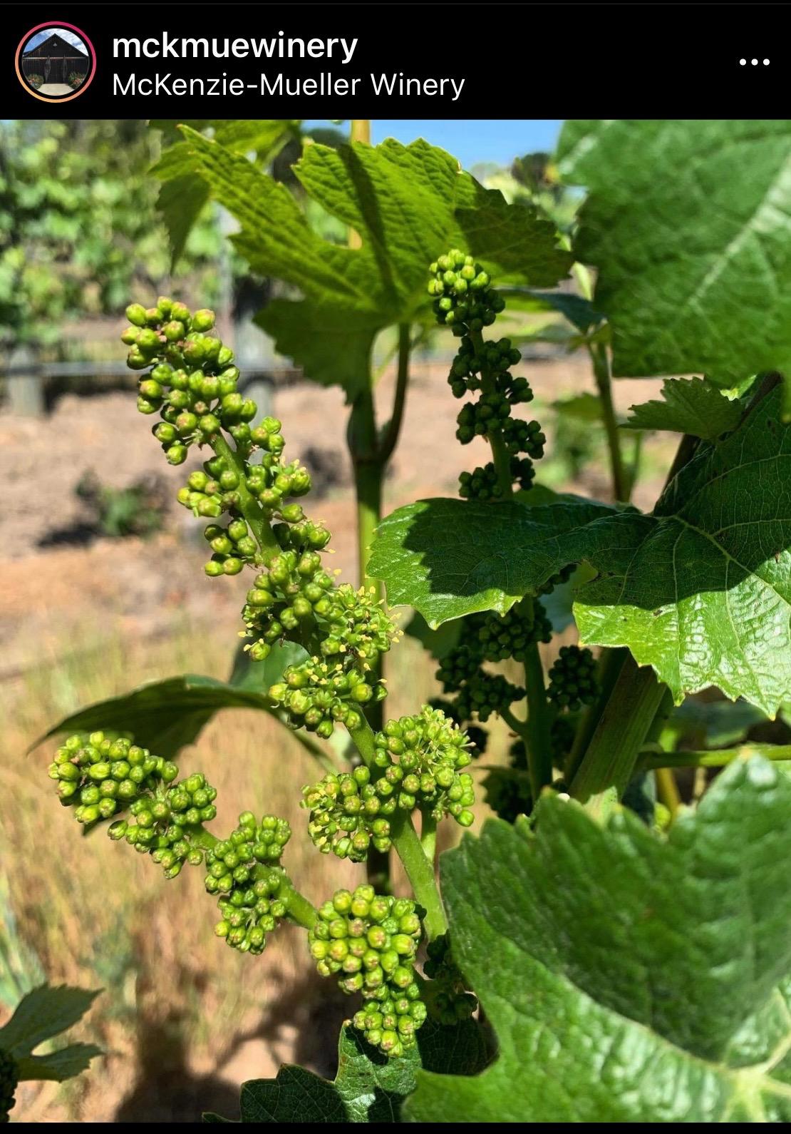 """We have """"bloom"""" in Carneros at McKenzie-Mueller Winery"""